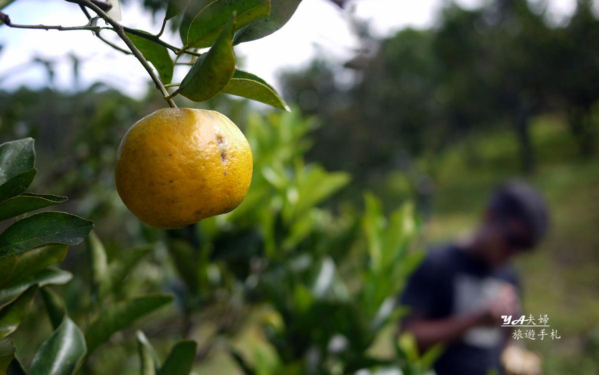 sagada-orange-picking-01